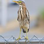 Green Heron - near Olympia, Wa
