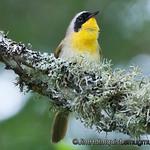 Common Yellow-throat - near Olympia, Wa