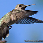 Anna's Hummingbird - taken in July near Olympia, Wa