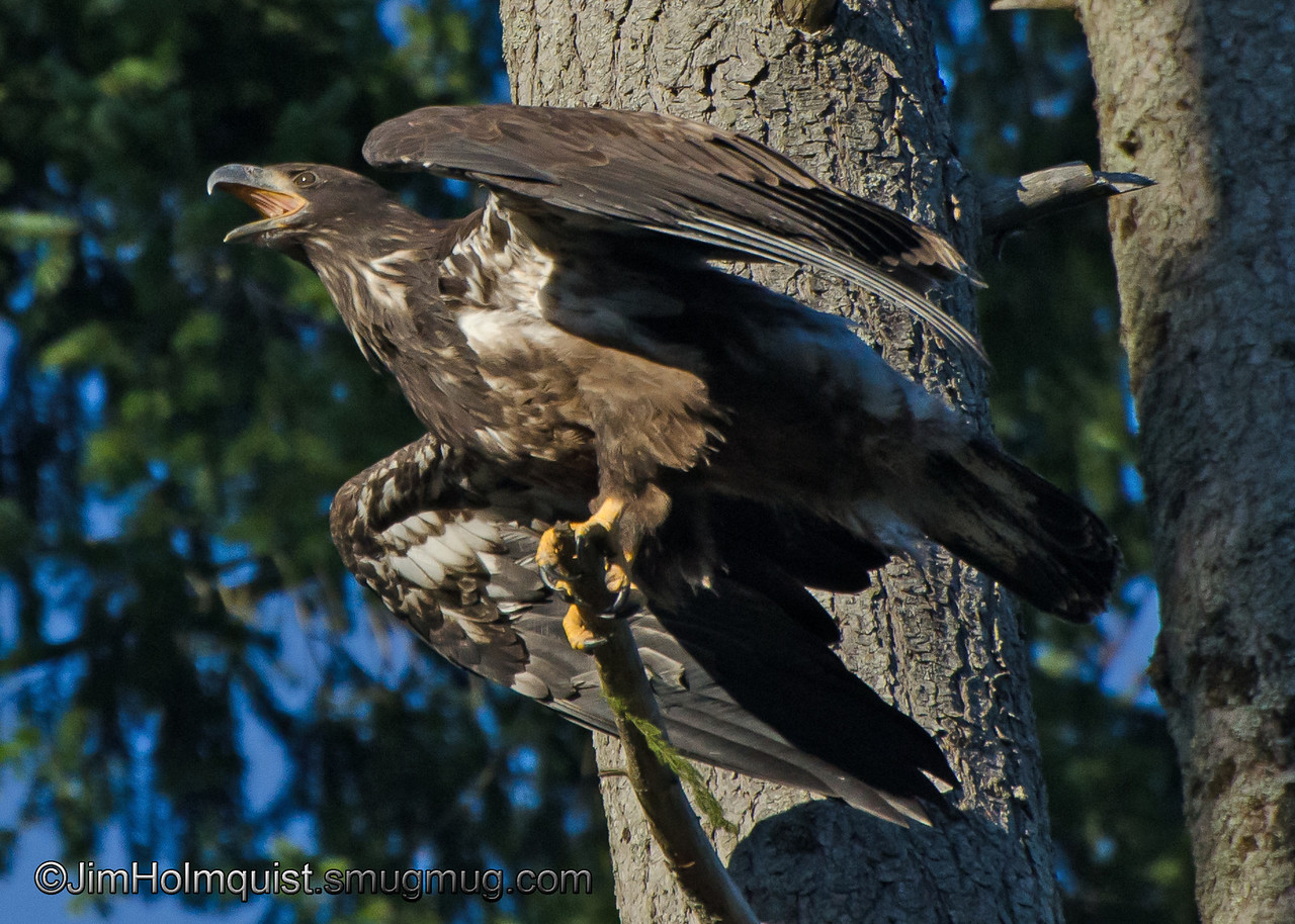 American Bald Eagle - fledgling just learned to fly. Taken in 2012.