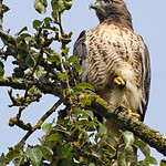 Red-tailed Hawk - Nisqually Wildlife Refuge near Olympia, Wa.