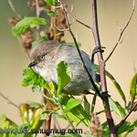 Female Bushtit - near Olympia, Wa. Taken in April.