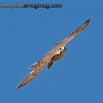 Prairie Falcon - taken at Snake River Birds of Prey are near Kuna, ID.