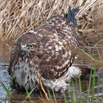 Red-Tailed Hawk - Taking a bath at Nisqually Wildlife Refuge near Olympia, Wa