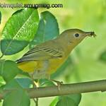 Yellow Warbler - with a tasty snack. Taken near Olympia, Wa.