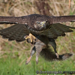Red-tailed Hawk - carrying a squirrel at Nisqually Wildlife Refuge near Olympia, Wa
