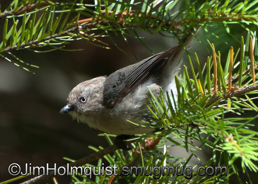 Bushtit - female at Mima Mounds near Olympia, Wa  taken in 2011