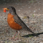 American Robin - with juicy grubs and berries near Olympia, Wa. Taken in 2012.