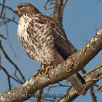 Red-tailed Hawk - Nisqually Wildlife Refuge near Olympia, Wa. Taken in 2012.