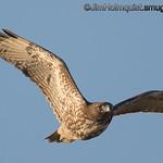 Red-tailed Hawk - taken near Olympia, Wa.