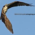 Osprey - inspecting me near Idaho Falls, Id
