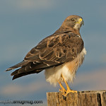 Swainson's Hawk - taken near Kuna, Id.<br /> <br /> I appreciate the nice comments and the interest in my Turkey Vulture shot! Thank you