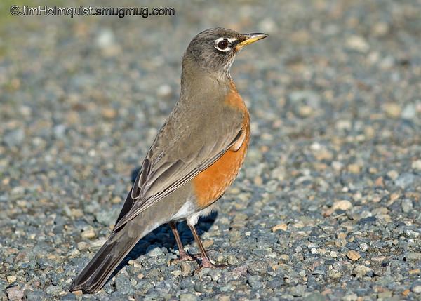 American Robin - common but cooperative. Taken near Olympia, Wa.<br /> <br /> I really appreciate the comments!