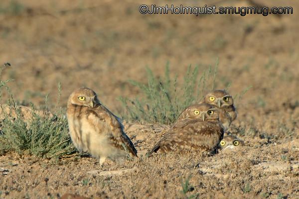 Burrowing Owls - near Kuna, Id.
