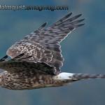 Northern Harrier - Nisqually Wildlife Refuge near Olympia, Wa
