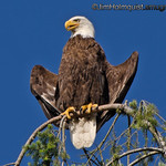 Bald Eagle - near Olympia, Wa. Taken in 2012.
