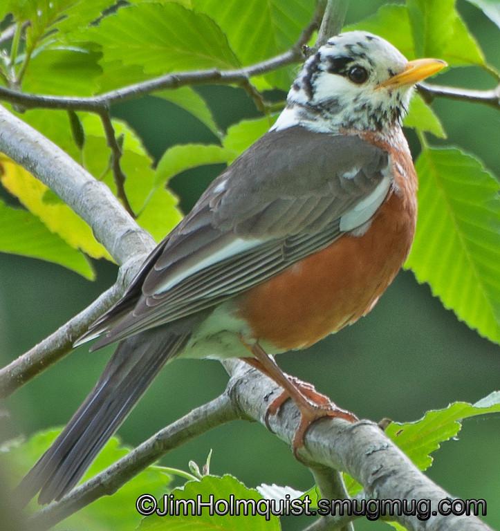 Leucistic American Robin - near Olympia, Wa