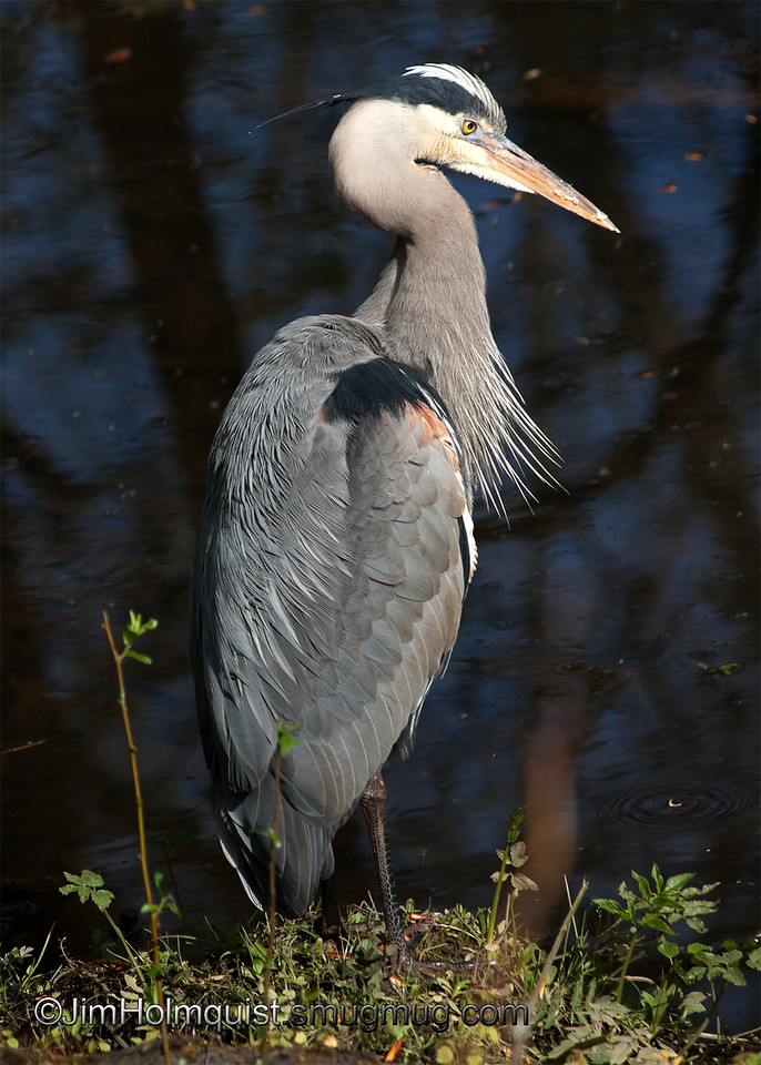 Great Blue Heron - Nisqually Wildlife Refuge near Olympia, Wa