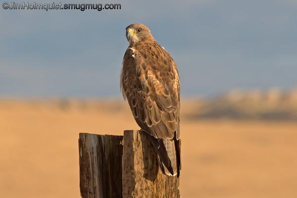 Swainson's Hawk - near Kuna, Id.