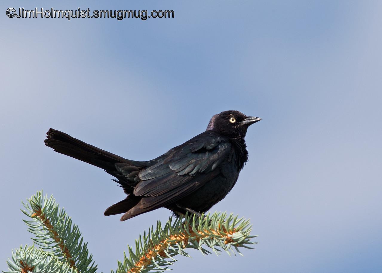 Brewer's Blackbird - taken near Pocatello, ID.<br /> <br /> I really appreciate the comments!