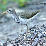 Spotted Sandpiper - trying to lead me away from the nest. Taken a few months ago in a park near Olympia, Wa.