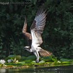Osprey(6 of 6) - diving for a fish near Olympia, Wa. Great splash but no fish.