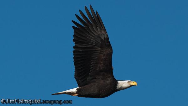 Bald Eagle - Nisqually Wildlife Refuge near Olympia, WA