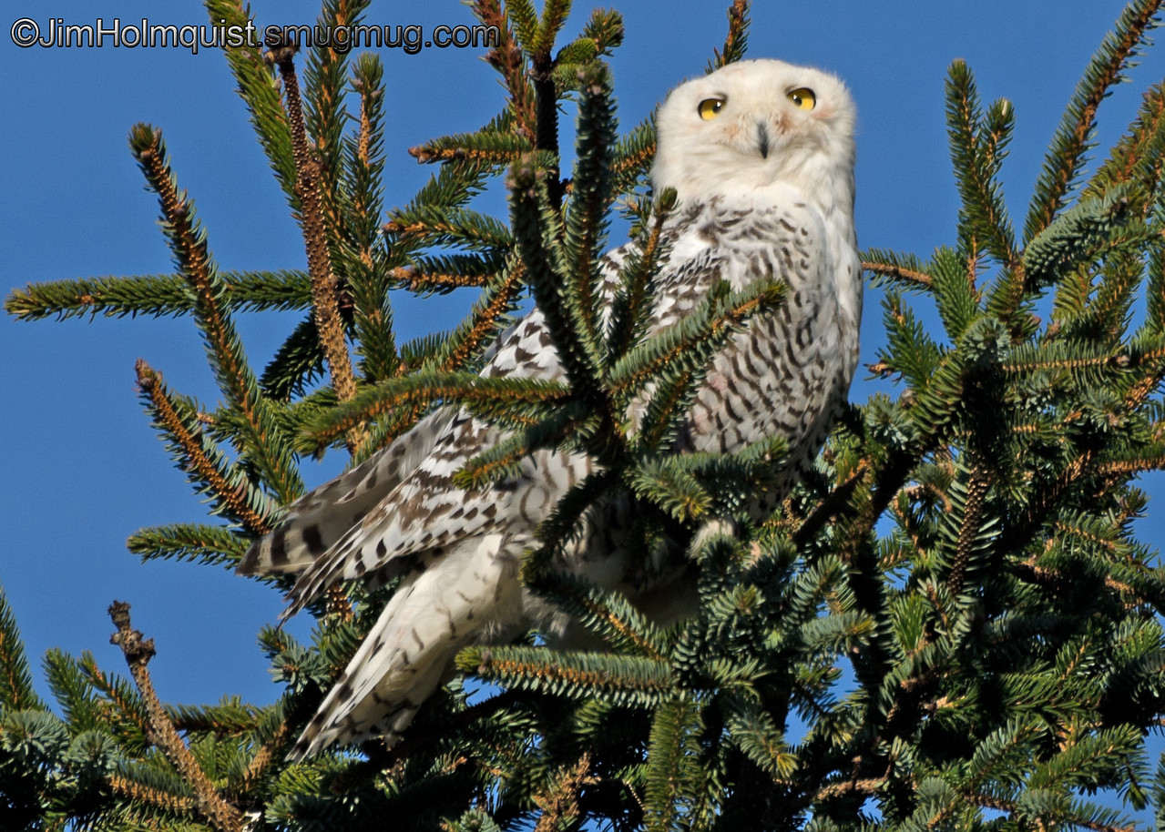 """L"" is for looking<br /> <br /> Snowy Owl - Ocean Shores, Wa. Taken in January."