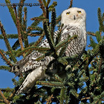 """""""L"""" is for looking<br /> <br /> Snowy Owl - Ocean Shores, Wa. Taken in January."""
