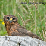 Northern Harrier juvenile - taken near Olympia, Wa.