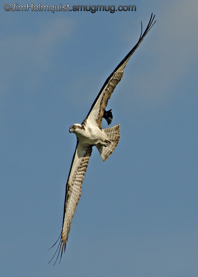 Osprey -  being chased by a Red-Winged Blackbird near Olympia, Wa. Taken in June.