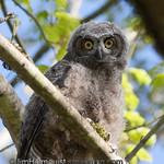 Great-horned Owl juvenile - Nisqually Wildlife Refuge near Olympia, Wa