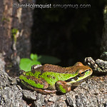 Pacific Tree Frog -  I found this copper-green tree frog at Nisqually Wildlife Refuge near Olympia, Wa.