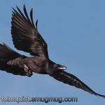 Common Raven - near Olympia, Wa