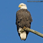 American Bald Eagle - Nisqually Wildlife Refuge near Olympia, Wa.