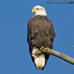 American Bald Eagle - Nisqually Wildlife Refuge near Olympia, Wa.