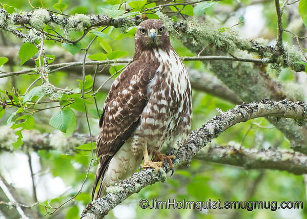 """""""H"""" is for Hawk<br /> <br /> Red-Tailed Hawk - watching me like a """"hawk"""" at Nisqually Wildlife Refuge near Olympia, Wa"""