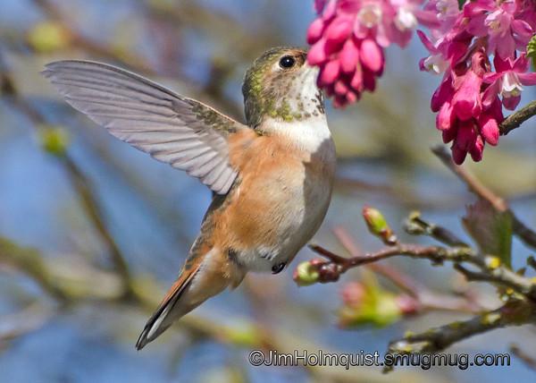 Rufous Hummingbird - young male near Olympia, Wa.