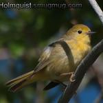 Yellow Warbler - near Idaho Falls, Id