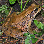 Cascade Frog - Capital Forest near Olympia, Wa. Taken in August.