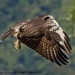 Red-tailed Hawk - at Nisqually Wildlife Refuge near Olympia, Wa