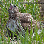 Red-Tailed Hawk - Taking a bath at Nisqually Wildlife Refuge near Olympia, Wa. Taken in 2012.