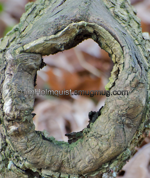 """Letter """"O""""- Knot on a fallen tree branch.<br /> <br /> I really appreciate the comments and the interest in my shot of Willow Flycatcher songbird yesterday! Thank you"""