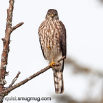 Sharp-shinned Hawk - near Olympia, Wa. Taken in 2011.