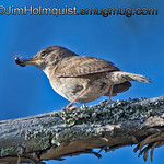 House Wren - taking beetle back to the nest near Olympia, Wa.