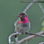 Anna's Hummingbird male - displaying his pink gorget as he turns from side to side. Taken near Olympia, Wa.