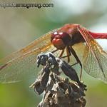 Cardinal Meadowhawk - taken near Olympia, Wa.