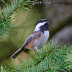 Chestnut-Backed Chickadee - Mima Mounds near Olympia, Wa. Taken in October.