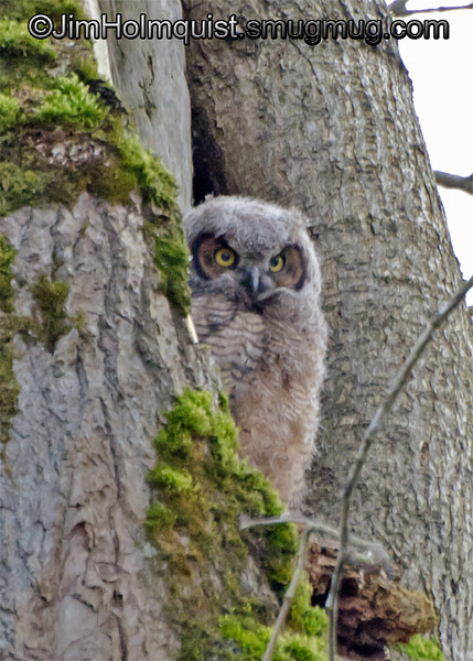 """Letter """"D"""" <br /> <br /> This is a noisy, low light picture of this Great-horned Owl chick but I noticed a letter D around the left eye. I hope to get some better pictures of these chicks in the near future."""