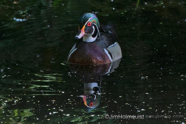 Wood Duck - taken near Olympia, Wa in May.